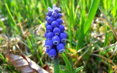 Clochettes bleues et printemps …