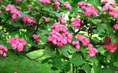 Une fabuleuse aubépine dans votre jardin !