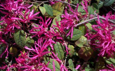 Feuillage persistant et floraison hivernale