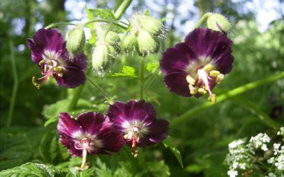 Adoptez le Geranium Phaeum !