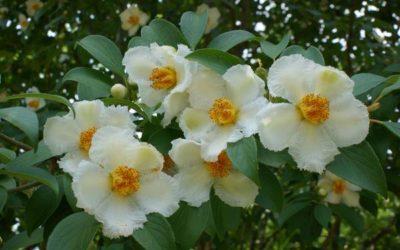 Un nuage de fleurs blanches en été