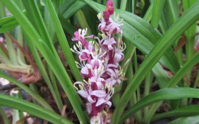 Le Reineckea pour des fleurs en septembre