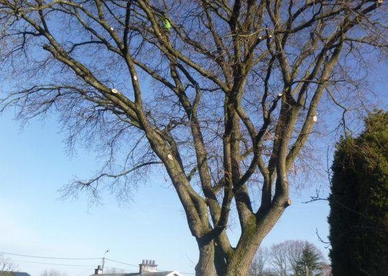 Taille douce d'un chêne