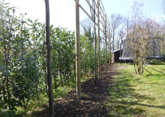 Plantation d'arbres palissés et haie brise vue